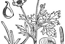 Sketch-of-Bulbous-Buttercup-plant