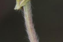 Stem-of-Bulbous-Buttercup