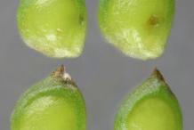 Unripe-Achenes-of-Bulbous-Buttercup