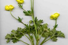 Whole-Bulbous-buttercup-plant