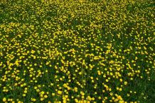 Bulbous-Buttercup-Farming