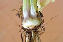 Image-showing-bulb-of-Bulbous-Buttercup-plant
