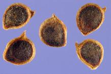 Seeds-of-Bulbous-Buttercup-plant