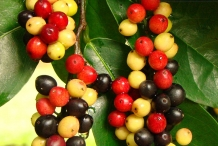 Bignay-fruit-4