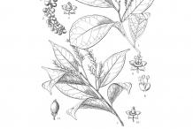 Bignay-fruit-drawing