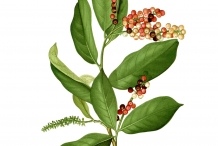 Bignay-fruit-illustration
