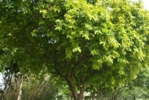 Bignay-fruit-tree