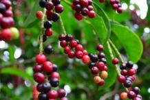 Bignay-fruit
