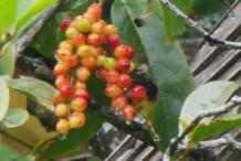 Bignay-fruit-2