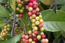 Bignay-fruit-5