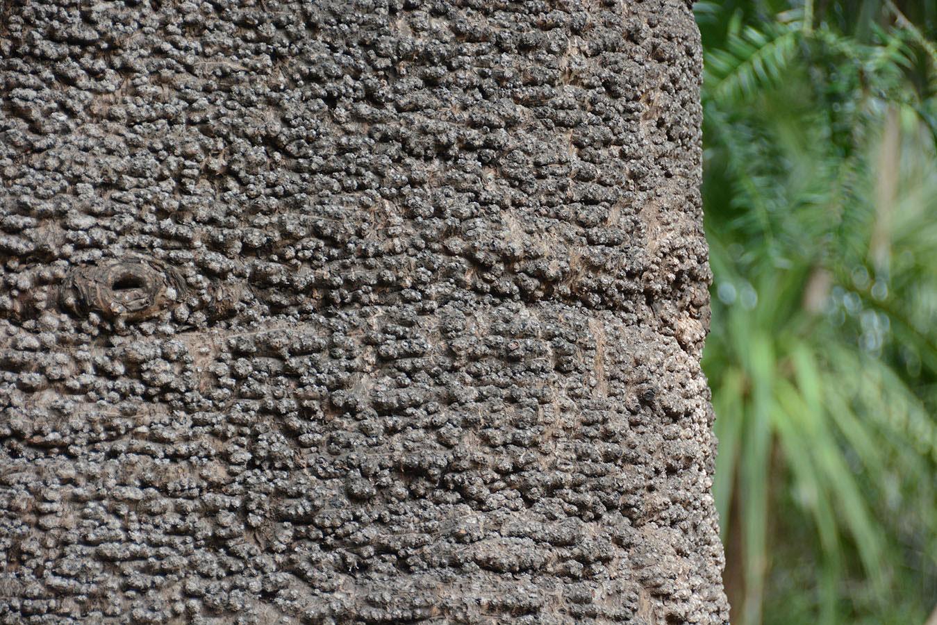 Bark-of-Bunya-nuts