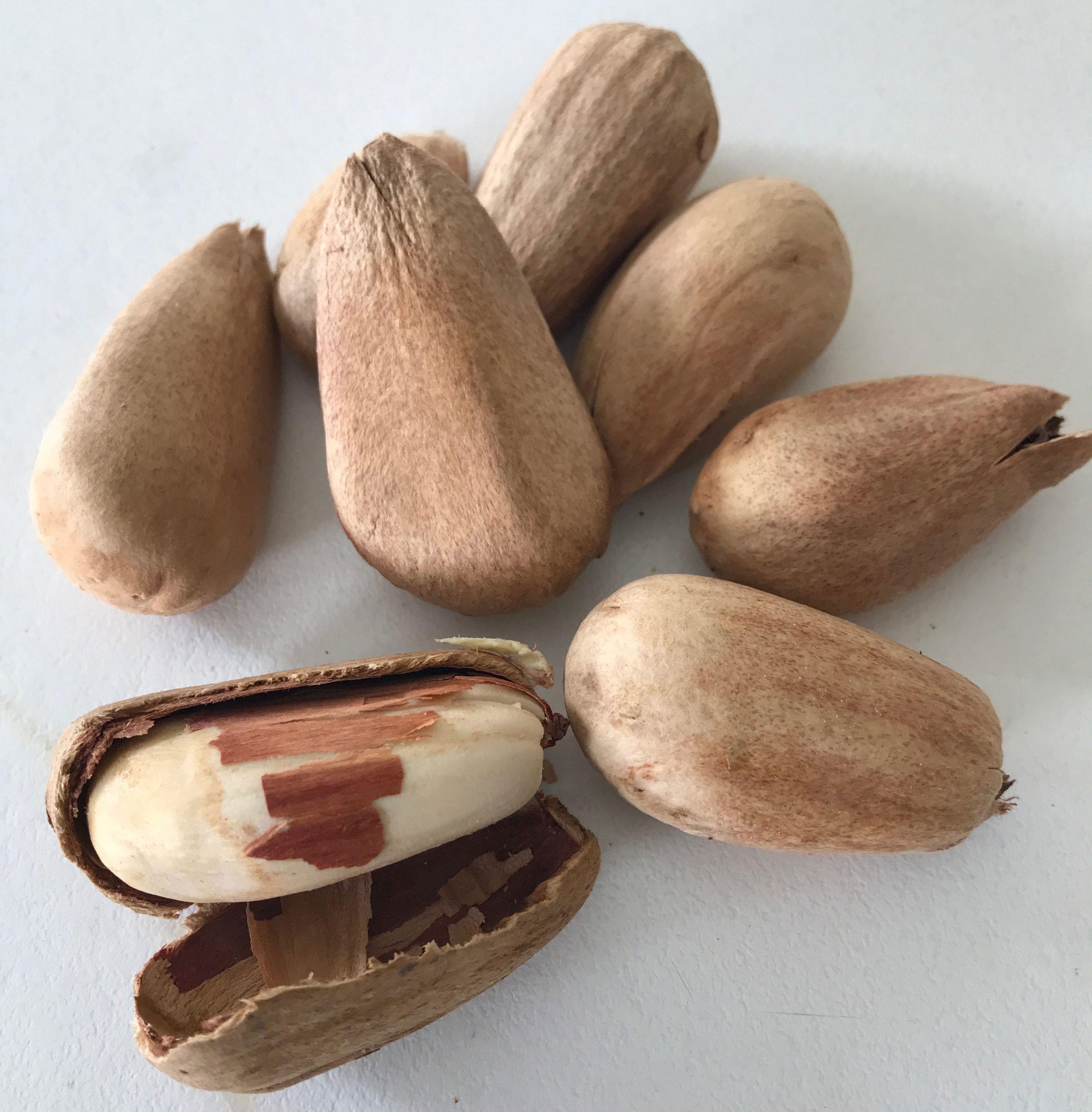 Bunya-Nuts