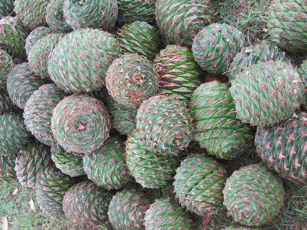 Cones-of-Bunya-nuts