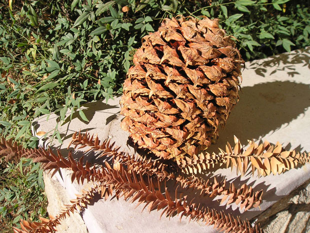 Dried-leaves-and-seed-cone-of-Bunya-nuts