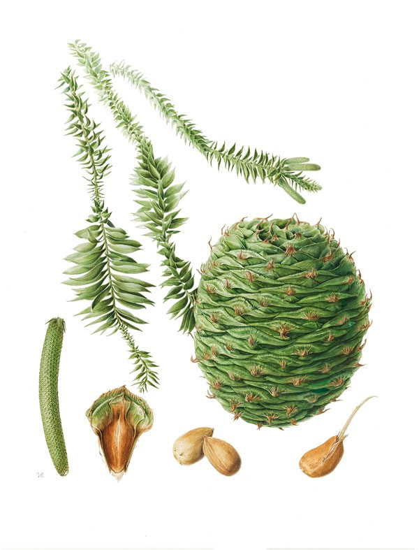 Plant-Illustration-of-Bunya-nuts