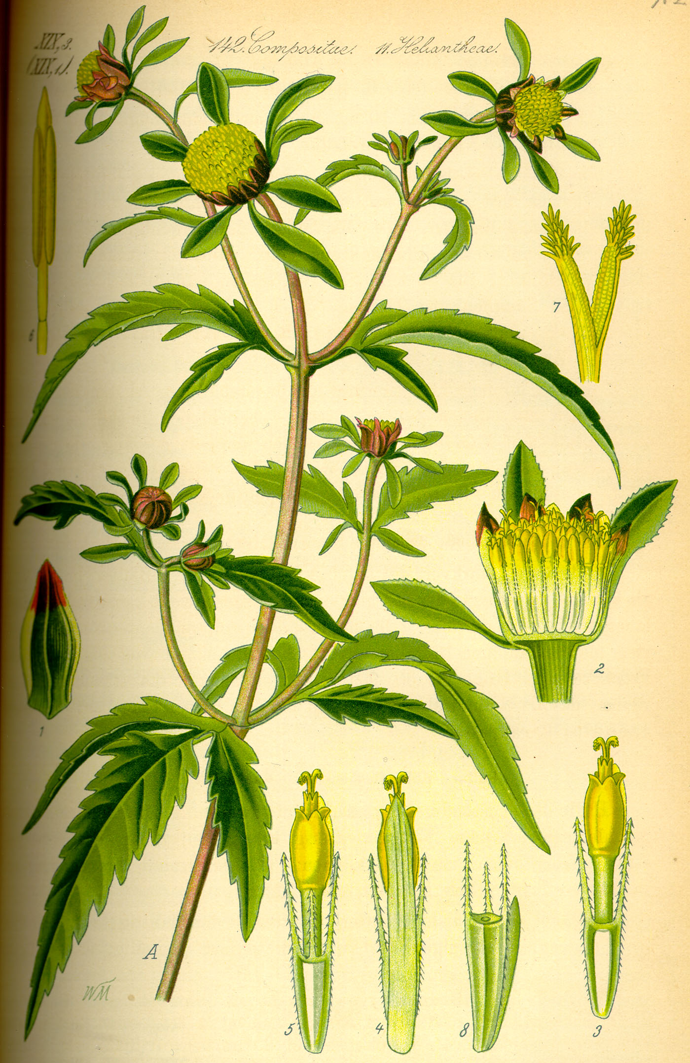 Plant-Illustration-of-Bur-Marigold
