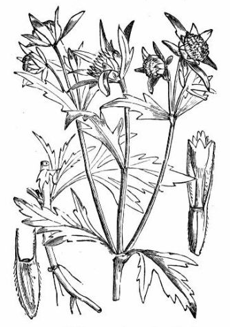 Sketch-of-Bur-Marigold-plant