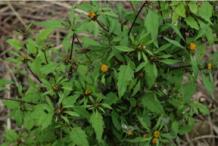 Bur-Marigold--Plant