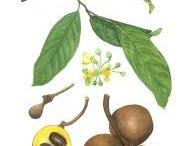 Burahol-plant-illustration
