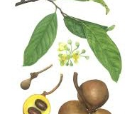 Burahol-plant-illustration