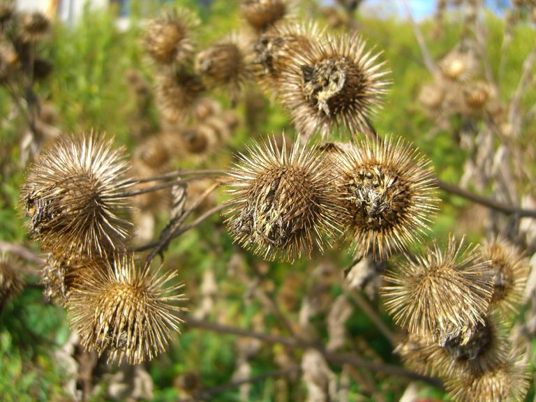 Seeds-of-Burdock