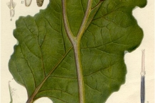 Plant-illustration-of-Burdock