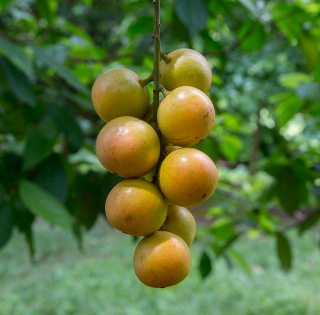 Burmese-grape-fruit