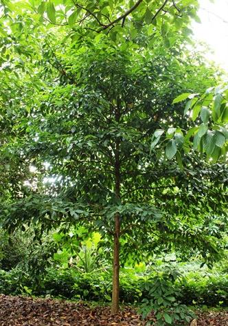Burmese-grape-tree