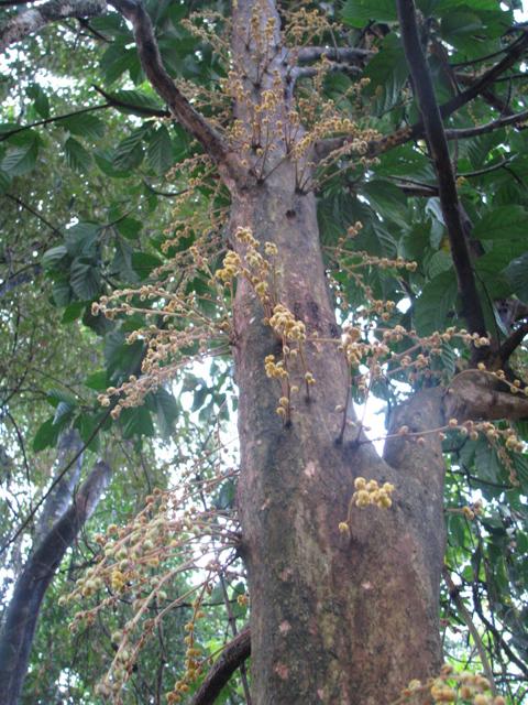 Burmese-grape-trunk