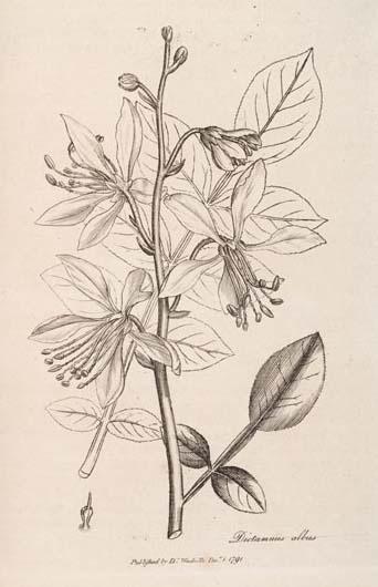 Sketch-of-Burning-bush-plant