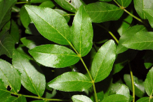 Leaves-of--Burning-Bush