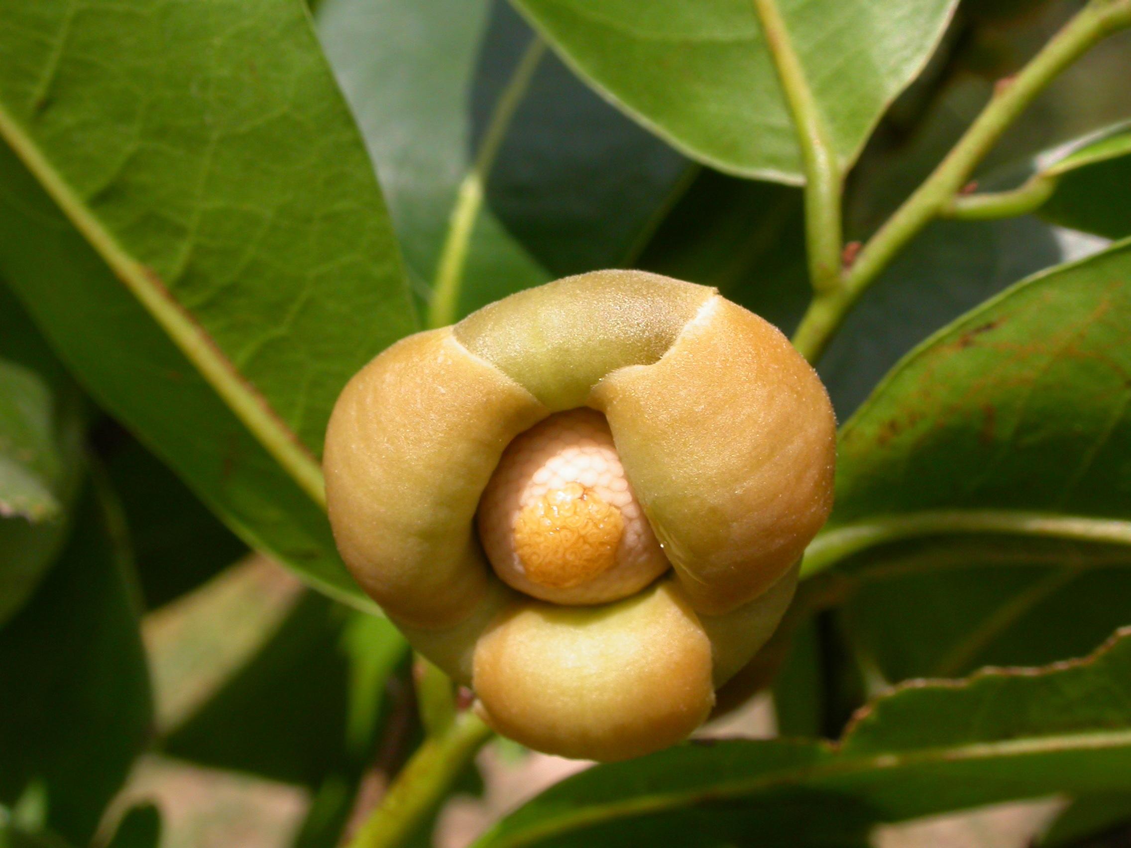 Bush-Banana-flower