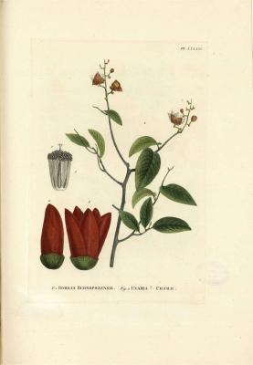 Plant-illustration-of-Bush-banana