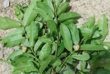 Bush-Banana-leaves