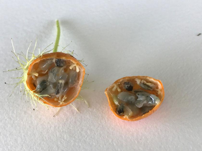 Half-cut-Bush-Passion-Fruit