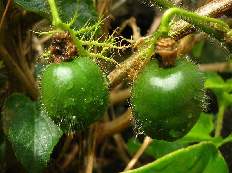 Immature-Bush-Passion-Fruit