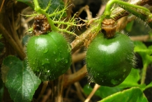 Immature-Bush-Passion-Fruit