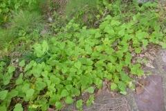 Bush-Passion-Fruit-plant