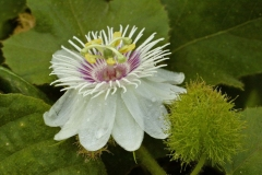 Closer-view-of-flower-of-Bush-Passion-Fruit
