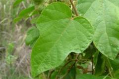 Leaves-of-Bush-Passion-Fruit
