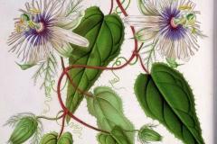 Plant-Illustration-of-Bush-Passion-Fruit