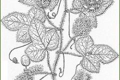 Sketch-of-Bush-Passion-Fruit