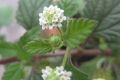 Bushy-Lippia-flower