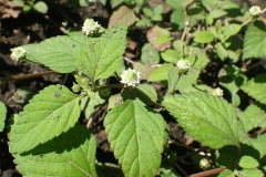 Bushy-Lippia-leaves