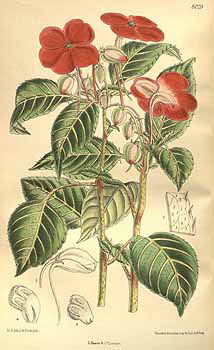 Plant-Illustration-of-Busy-Lizzie