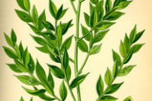 Plant-Illustration-of-Butcher's-Broom