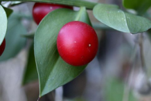 Closer-view-of-Butcher's-Broom-fruit