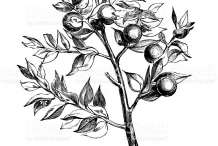 Sketch-of-Butcher's-Broom