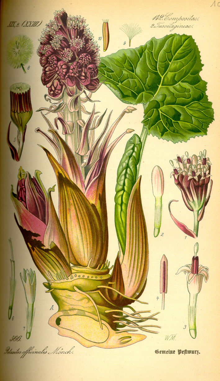 Plant-illustration-of-Butterbur