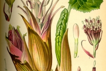 Plant-illustration-of-Butterbur